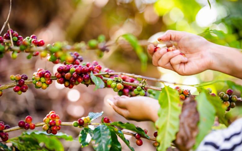 _0021_organik-kahve