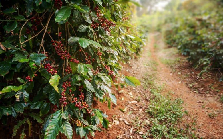31_organik-kahve