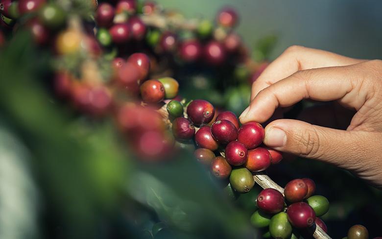 Kahve Kirazı
